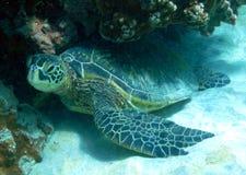 zielony denny żółw Fotografia Royalty Free