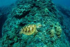 Zielony Denny żółw i rafa koralowa obraz royalty free