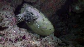 Zielony denny żółw na czystym jasnym dnie morskim podwodnym w Maldives zbiory wideo