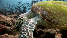 Zielony denny żółw na czystym jasnym dnie morskim podwodnym w Maldives zdjęcie wideo