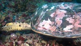 Zielony denny żółw na czystym jasnym dnie morskim podwodnym w Maldives zbiory