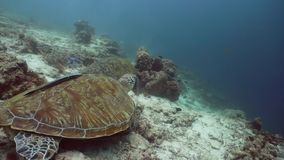 Zielony Denny żółw pod wodą w Filipiny zbiory wideo