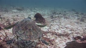 Zielony denny żółw podwodny na tle głęboki dno w Maldives zbiory