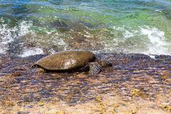 Zielony denny żółw przy krawędzią plaża Fotografia Stock
