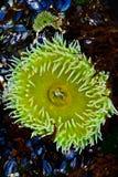 Zielony Denny anemon Fotografia Royalty Free