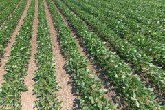Zielony dojrzenie soi pole Rzędy zielone soje Soi plant obraz royalty free