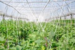 Zielony dom pomidory w zielonym tle Obraz Royalty Free