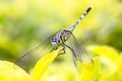 Zielony dragonfly. Fotografia Royalty Free