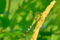 Zielony Dragonfly Obraz Stock