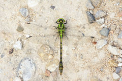 Zielony Dragonfly Obrazy Stock