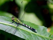 Zielony Dragonfly Zdjęcie Stock