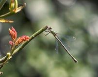 Zielony Dragonfly Zdjęcia Stock