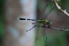 Zielony dragonfly na chili trzonie zdjęcia royalty free