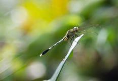 Zielony dragonfly na zielonym liściu fotografia royalty free