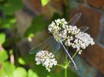 Zielony dragonfly obsiadanie na kwitnąć pospolitego kozłeka Valeriana officinalis fotografia stock