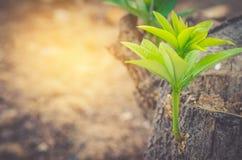 Zielony drzewa A nowy początek który zdarza się w złotym Fotografia Stock
