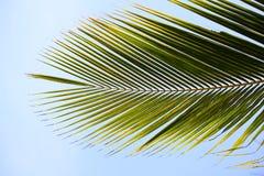 Zielony drzewko palmowe Zdjęcia Royalty Free