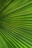 zielony drzewko palmowe Fotografia Stock