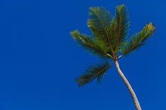 Zielony drzewko palmowe na niebieskim niebie Zdjęcie Royalty Free