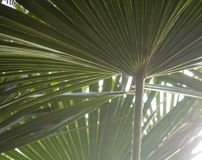 Zielony drzewko palmowe opuszcza z backlight jaśnieniem przez tekstury obraz stock