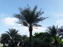 Zielony drzewko palmowe w ogródzie pod niebieskim niebem Obraz Royalty Free