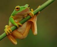 Zielony drzewnej żaby obwieszenie dalej Obrazy Royalty Free