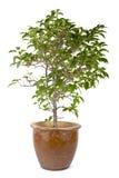 zielony drzewny biel Zdjęcie Royalty Free