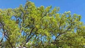 Zielony Drzewny chodzenie w wiatrze - zwolnione tempo zbiory wideo