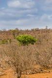 Zielony Drzewny dorośnięcie między Pustynnym terenem i Nieżywymi drzewami, Południowa Afryka Obrazy Royalty Free