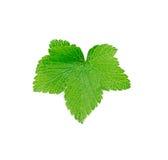 Zielony drzewny liść Zdjęcia Royalty Free