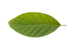 Zielony drzewny liść odizolowywający na białym tle Fotografia Stock
