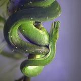 Zielony Drzewny Pyton Zdjęcie Royalty Free