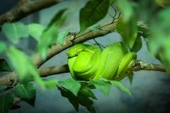 Zielony Drzewny pyton Fotografia Stock