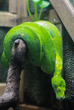 Zielony Drzewny Pyton Zdjęcia Royalty Free