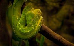 Zielony drzewny pyton jest Nowa gwinea gatunki pytonu miejscowy, wyspy w Indonezja i przylądka Jork półwysep, Zdjęcie Royalty Free