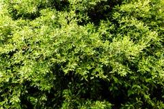 Zielony drzewny ulistnienie Obrazy Royalty Free