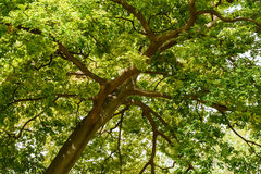 Zielony drzewny ulistnienie Zdjęcia Royalty Free