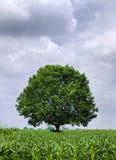 zielony drzewo obraz royalty free