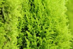 Zielony drzewo Obraz Stock