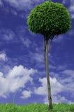 Zielony drzewo. Obrazy Stock