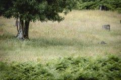 Zielony drzewo na gazonie przy lasem Zdjęcia Stock