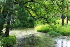 Zielony drzewo nadwiesi rzekę z kaczkami Obrazy Royalty Free