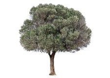 zielony drzewo oliwne Fotografia Royalty Free