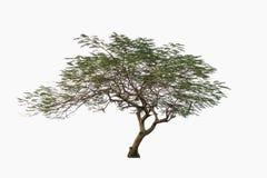 Zielony drzewo, Pawiego kwiatu drzewo, odizolowywający na białym bac Obrazy Royalty Free
