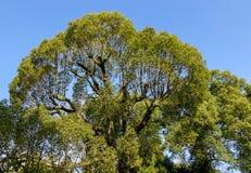 Zielony drzewo przy parkiem Obraz Stock