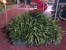 Zielony drzewo w Bangkok Zdjęcia Royalty Free