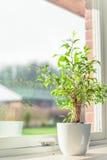 Zielony drzewo w okno Obrazy Royalty Free