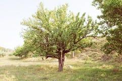 Zielony drzewo w polu Fotografia Stock