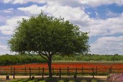 Zielony drzewo w polu czerwoni maczki Zdjęcia Royalty Free