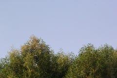 Zielony drzewo z niebieskiego nieba tłem, Dubaj Zdjęcia Stock